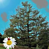 La margherita e il pino [197]