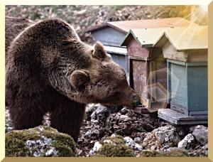 Orso europeo in procinto di fare una scorpacciata di miele.